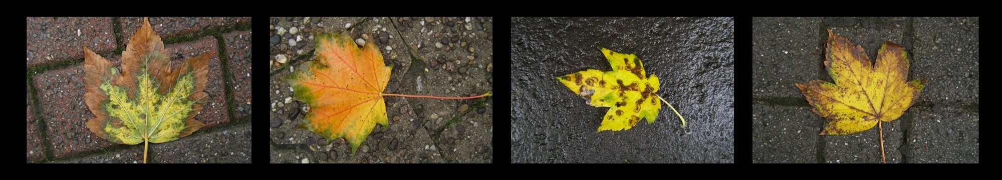 Four images, each of a single autumnal leaf lying on wet brick or concrete